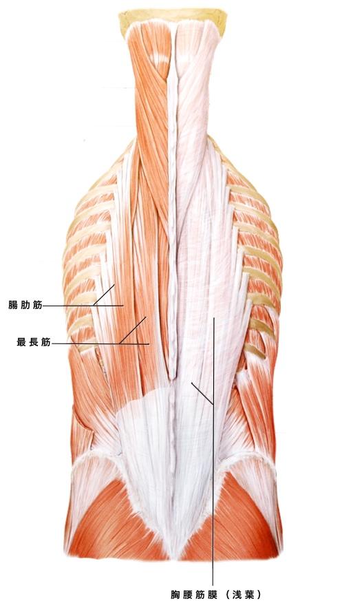腰痛 腰部の浅層筋2
