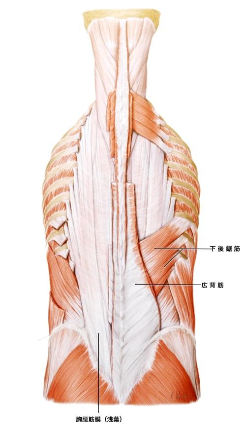 腰痛 腰部の浅層筋1